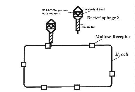 Phage binding to maltose receptor