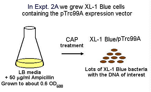 In Expt. 2A we grew XL-1 Blue cells containing the pTrc99A expression vector