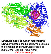 structural model of human mitochondrial DNA polymerase