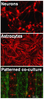 neurons-astrocytes-co