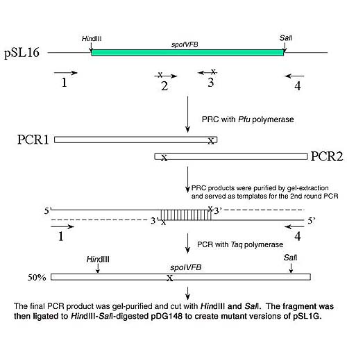 The final PCR product was gel-purified and cut with HindIII and SalI.  The fragment was ligated to HindIII-SalI-digested pDG148 to create mutant versions of pSL1G