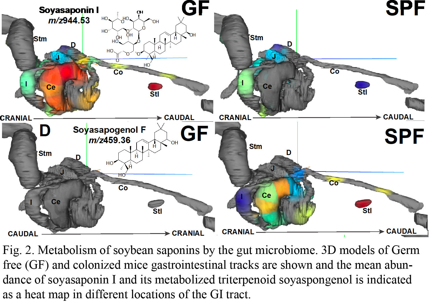 Metabolism of soybean saponins by the gut microbiome
